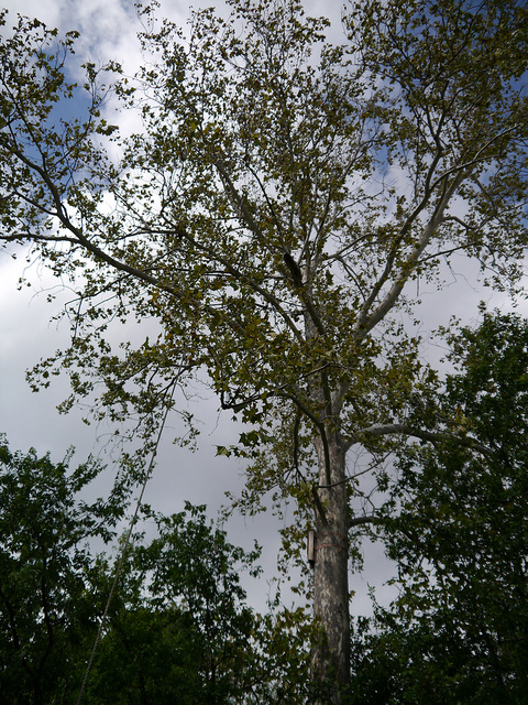 sycamore tree in our yard